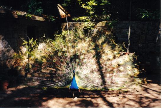 peacock in park, Cascais, Portugal