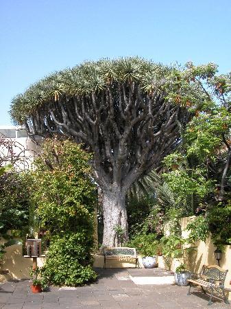 Jardín de Orquídeas de Sitio Litre: the old drago in the garden