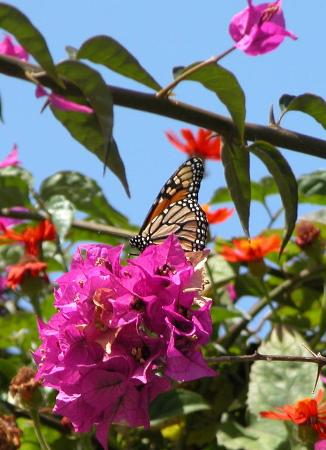 Jardin de Orquideas de Sitio Litre: this butterfly is always here
