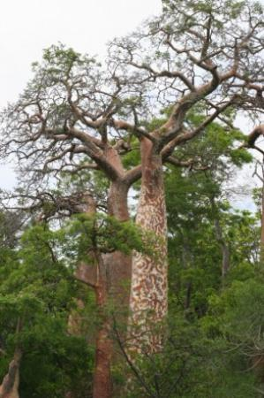 Anjajavy, Madagascar: Baobab