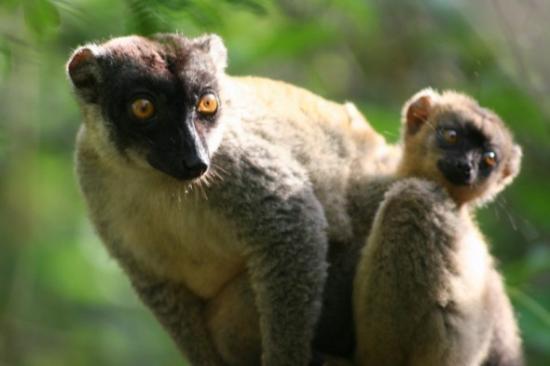 Anjajavy, Madagascar: Brown Lemur