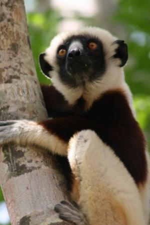 Anjajavy, Madagascar: Sifaka