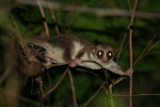 Anjajavy L'Hotel: Mouse Lemur