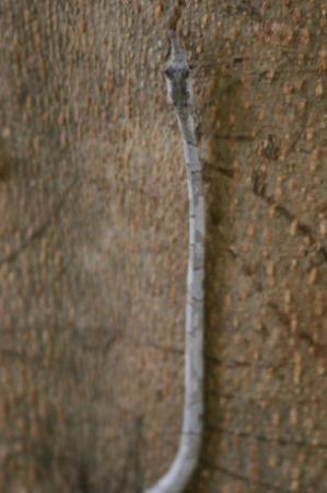 Anjajavy L'Hotel: Stick Snake