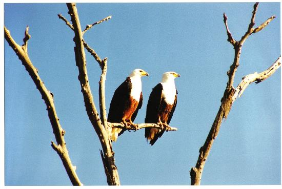 Kruger National Park, South Africa: Pair of African Fish Eagles