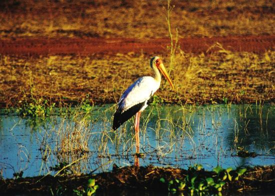 Kruger National Park, South Africa: Yellow-billed stork