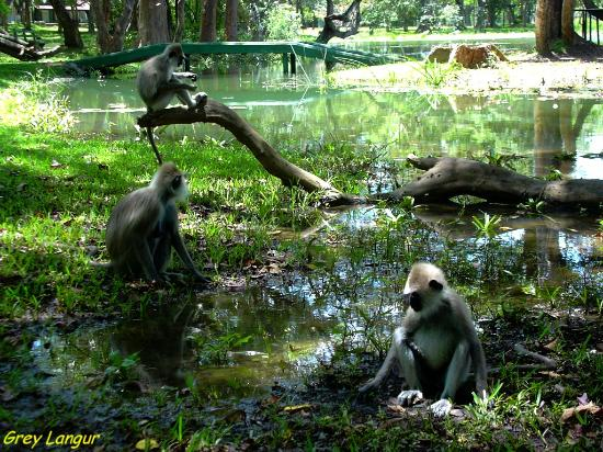 Habarana Village by Cinnamon: Langur monkeys in grounds