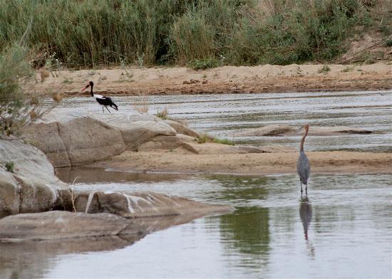 Εθνικό πάρκο Κρούγκερ, Νότια Αφρική: Saddle-billed stork & Goliath heron