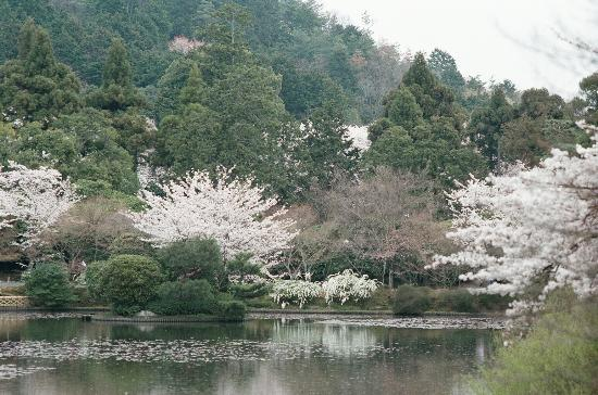 Киото, Япония: Cherri blossoms at Ryoanji Temple