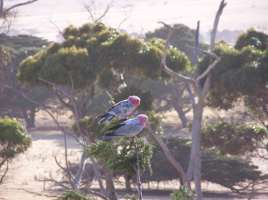 Fillmore's Lombardy: Galahs in the trees just outside the window