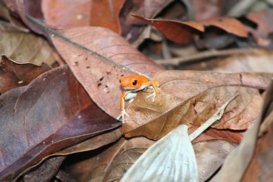 La Loma Jungle Lodge and Chocolate Farm: Red Frog