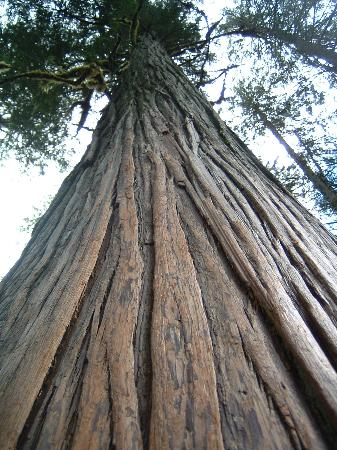Giant Cedars Boardwalk Trail: very old and giant cedar!