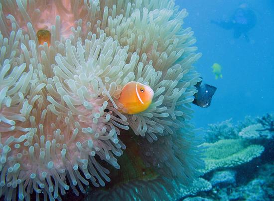 Jean-Michel Cousteau Resort Fiji: Nice anemone and clown fish while diving