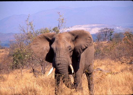 Kruger National Park, Sydafrika: An Elephant flaps his ears