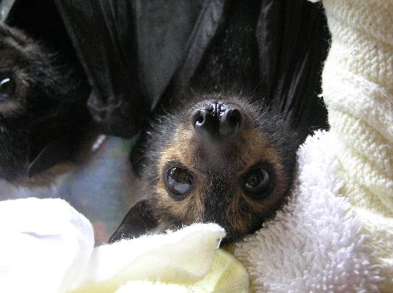 Kuranda, Austrália: A young orphaned flying fox (fruit bat).