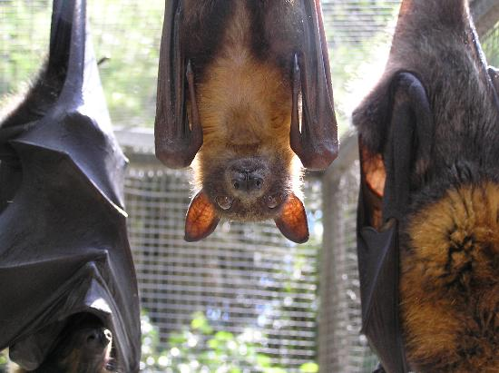 Kuranda, Austrália: Adult flying foxes at BatReach.