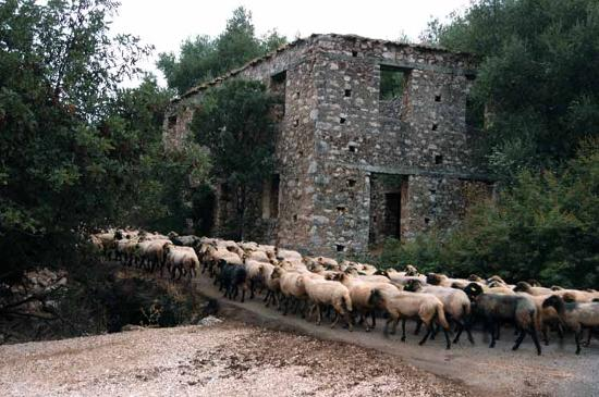 Cefalonia, Grecia: goats being herded thru village destroyed by earthquake near Sami