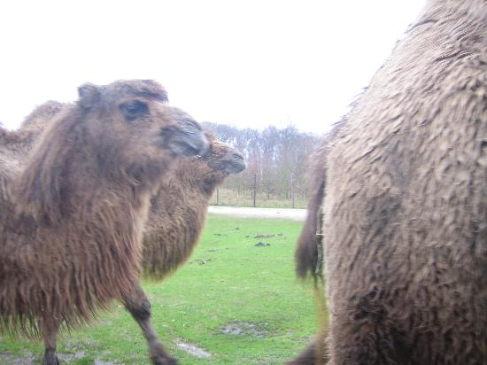 Beekse Bergen Safari Park: Taken from my car, surrounded by them