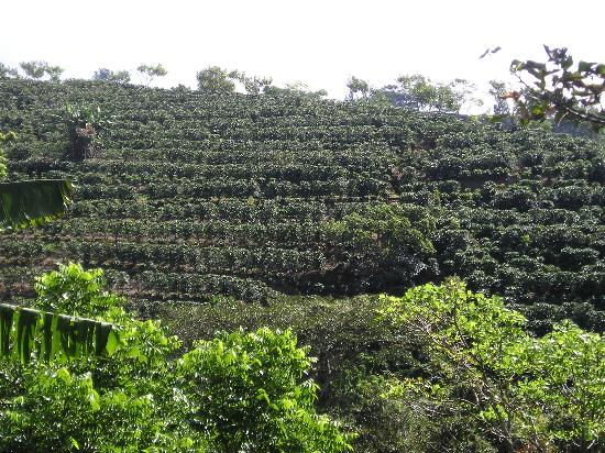 Hotel Buena Vista : The Coffee Plantation on the hotel Property