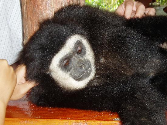 Gibbon Rehabilitation Project: Cute Charley