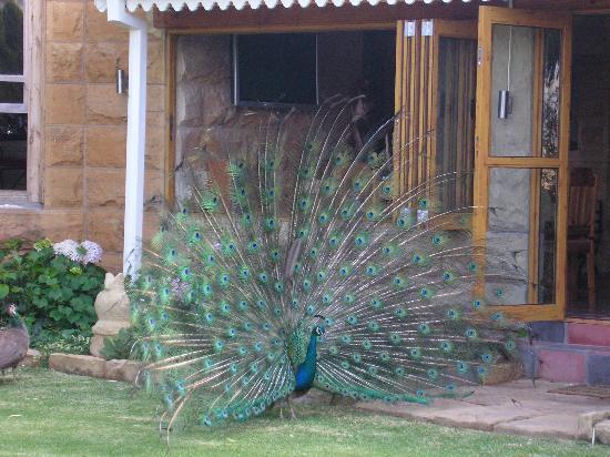 Caledon Gardens: Peacock