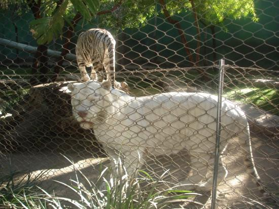 The Free Tiger Exhibit At Mirage Taste Of Secret Garden Picture Of Siegfried Roy 39 S Secret