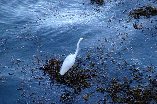 Point Lobos State Reserve: Egret Fishing in January