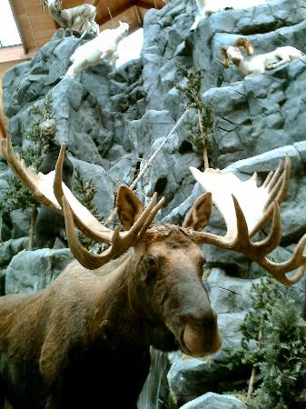 Cabela's : Your moose is loose! It's on display inside the store, along with other animals.