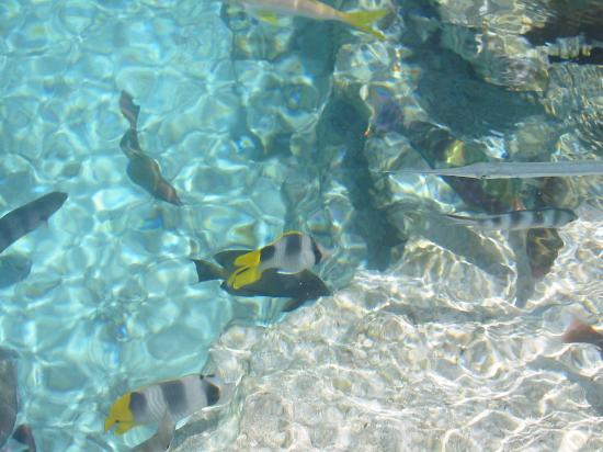 The St. Regis Bora Bora Resort: beautiful wild fish