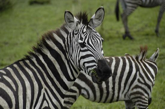 Masai Mara National Reserve, Kenia: Zebras