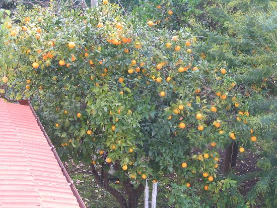 Sorrento Town Suites: Orange trees in the garden