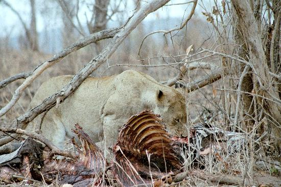 Nationaal Park Kruger, Zuid-Afrika: Lioness with kill