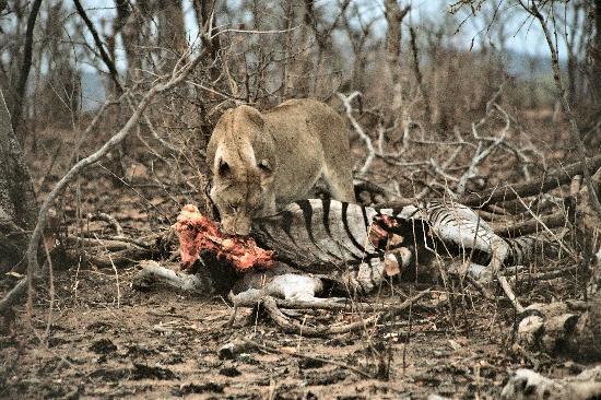 Kruger National Park, South Africa: Zebra provided meals for several days
