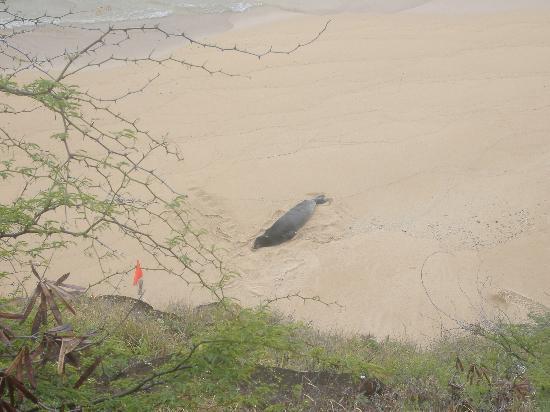 Hanauma Bay Nature Preserve: A seal hanging out.
