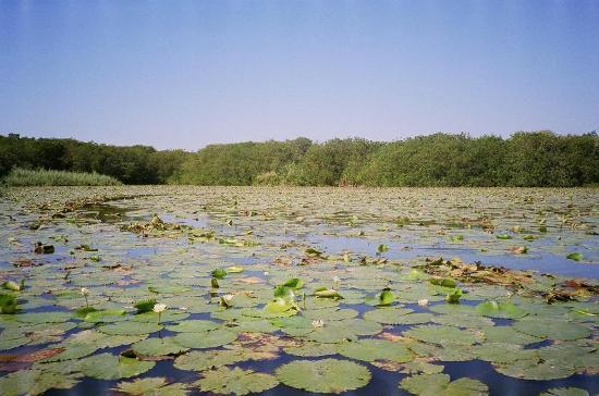 Laguna de Tres Palos: Water lilies