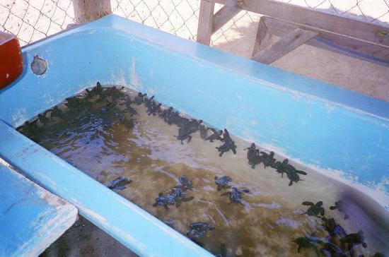 Barra Vieja Beach: Hatchlings