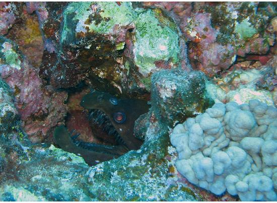 Muri Beachcomber: Mean-looking moray hiding out