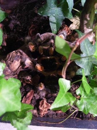 มอนทรีออล, แคนาดา: Tarantula