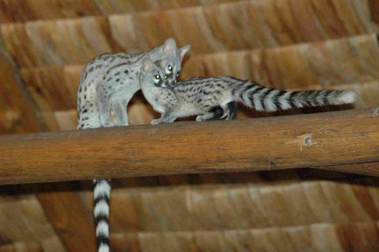 Ndutu Safari Lodge : Genet cats in the rafters