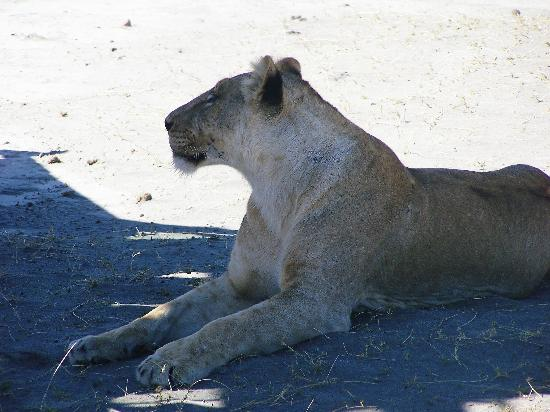 Ngorongoro Sopa Lodge: Lioness in Crater