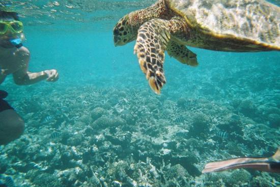 Anse Volbert, Ilhas Seychelles: Hawksbill Turlte