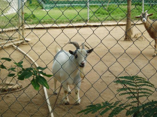 Nassau, Isola Nuova Providence: pygmy goat