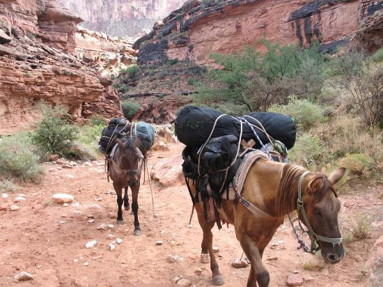 Havasu Canyon Pack Horses