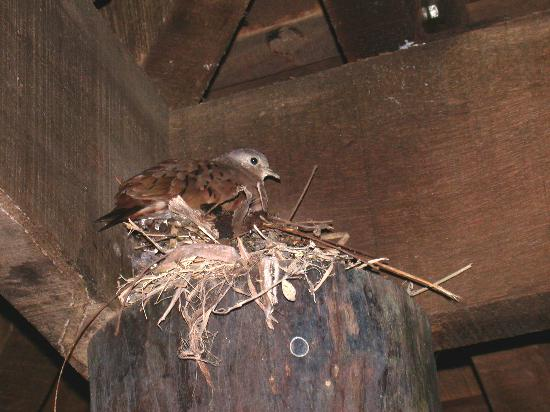 Esquinas Rainforest Lodge: doves nesting outside our room