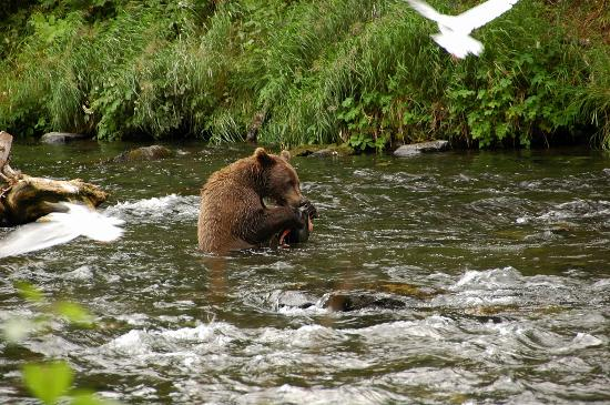 Russian River: Brown Bear Eating Salmon