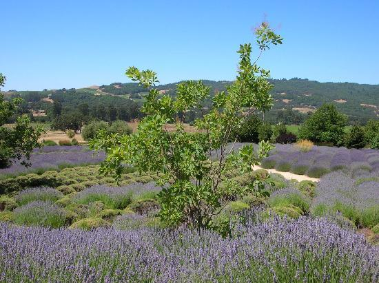 Santa Rosa, CA: Tree in Lavender Field Matanzas Creek