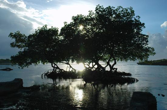 Flowers Bay, Honduras: Mangrove bight