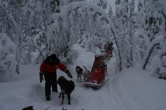 Muonio, Finlande : Huskey Dogs