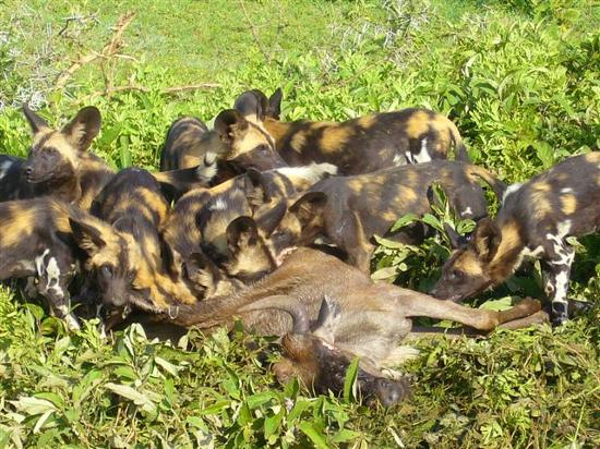 Suyan Camp: Wild dogs and  gnu