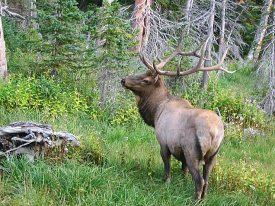 The Mountainside at Silver Creek: Elk in Rocky Mtn NP